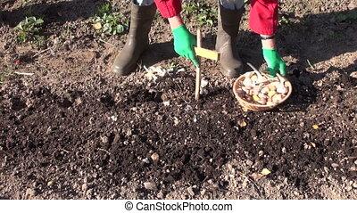 preparing to plant garlic in autumn - Woman senior wearing...