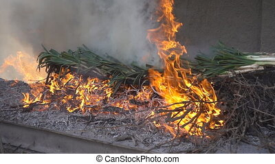 Preparing traditional catalan calsots in the fire,...