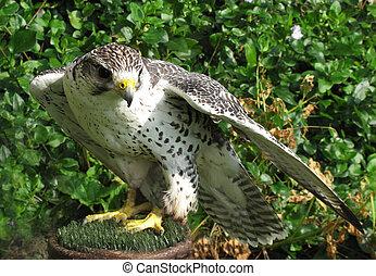 presa, pájaro, falco rusticolus