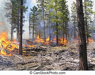 Fire burning logging slash in a pine forest.