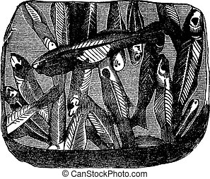 Preserved fossil fish on a plate shale, vintage engraving. -...