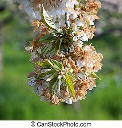 prespa, 地域, macedonia, 花, さくらんぼ, 霜, 朝, 傷つけられる
