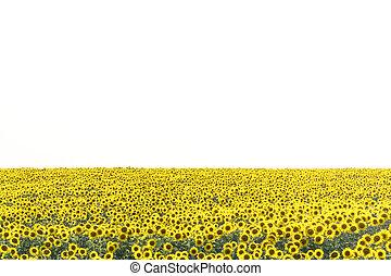 presque, ciel jaune, contre, champ, tournesols, lumière, fleurs blanches