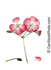 pressé, géranium, buisson, pelargonium, rose, séché, ou, fleur