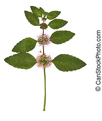 Pressed and dried bush mint. Isolated on white background. ...