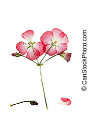 Pressed and dried bush with pink flower geranium or ...