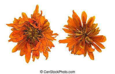 Pressed and dried chrysanthemum flower, isolated on white ...