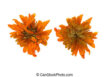 Pressed and Dried chrysanthemum flower. Isolated on white background.