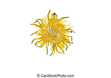 Pressed and dried dandelion flower. Isolated on a white background.