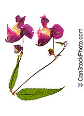 Pressed and dried delicate lilac flowers impatiens ...