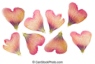 Pressed and dried delicate petals of flowers of mallow, ...
