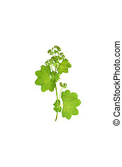 Pressed and dried flower Alchemilla vulgaris. Isolated. - ...