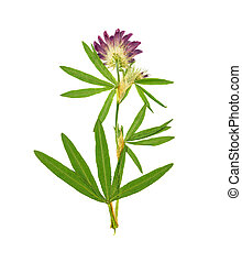 Pressed and dried flower alfalfa. Isolated