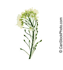 Pressed and dried flower berteroa incana. Isolated on white background.