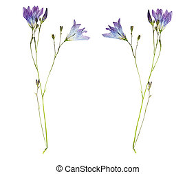 Pressed and Dried flower campanula. Isolated on white background.