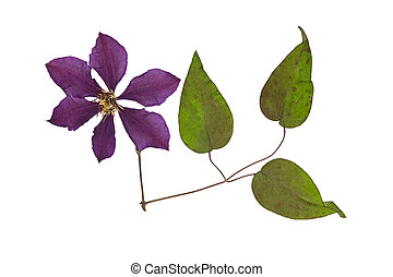 Pressed and dried flower clematis with green leaves. Isolated