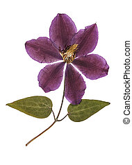 Pressed and dried flower clematis with green leaves. ...