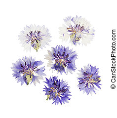 Pressed and dried flower cornflower. Isolated on white