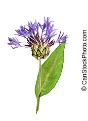 Pressed and dried flower cornflower on stem with green ...