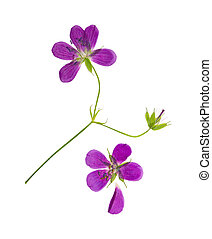 Pressed and dried flower geranium pretense. Isolated - ...