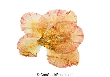 Pressed and dried flower gladiolus. Isolated on white background.
