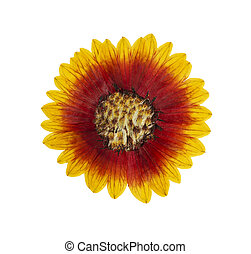 Pressed and dried flower helenium isolated on white