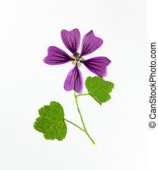 Pressed and dried flower lavatera, isolated on white ...