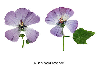 Pressed and dried flower lavatera, isolated on white