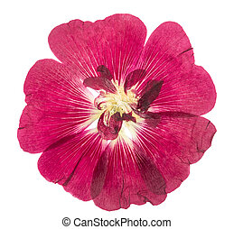 Pressed and dried flower mallow (malva), isolated on white