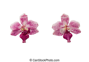 Pressed and Dried flower Orchid. Isolated on white background.