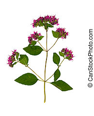 Pressed and dried flower oregano or marjoram, isolated