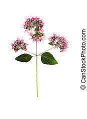 Pressed and dried flower oregano or marjoram. Isolated