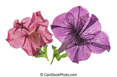 Pressed and dried flower petunia isolated on white