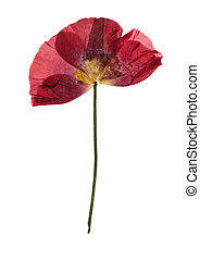 Pressed and dried flower poppy, isolated on white