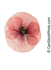 Pressed and dried flower poppy. Isolated on white background...