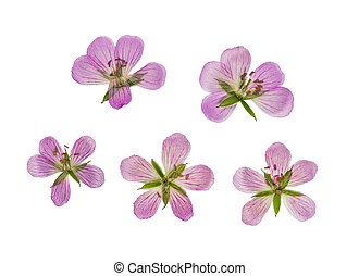 Pressed and dried flower siberian geranium, isolated - ...
