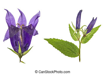 Pressed and dried flowers campanula. Isolated on white ...