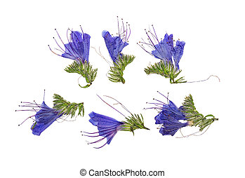 Pressed and dried flowers echium vulgare isolated on white ...