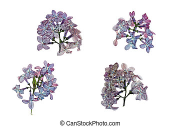 Pressed and dried flowers lilac isolated on white background...