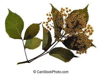 Pressed and dried flowers of European elder (Sambucus nigra...