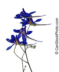 Pressed and dried flowers of Forking Larkspur (Consolida ...