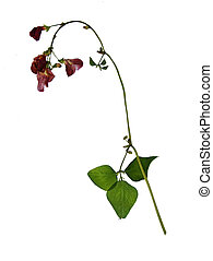 Pressed and dried flowers of scarlet runner bean (Phaseolus ...