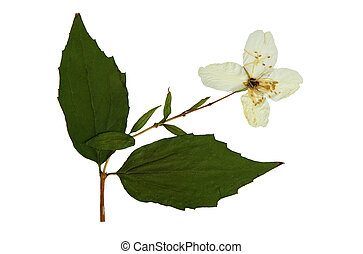 Pressed and dried flowers of Philadelphus - Pressed and...