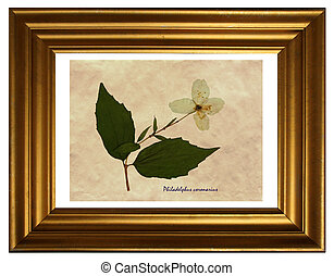Pressed and dried flowers of Philadelphus - Herbarium from...