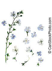 Pressed and dried flowers Veronica officinalis. Isolated on ...