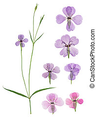 Pressed and dried flowers viscaria. Isolated on white background. For use in scrapbooking, floristry or herbarium.
