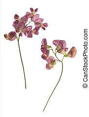 Pressed and dried lathyrus vernus. Isolated on white ...