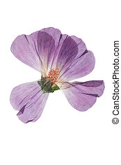 Pressed and dried pink flower mallow