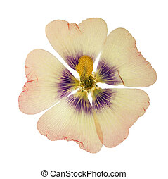 Pressed and dried pink flower mallow (malva), isolated