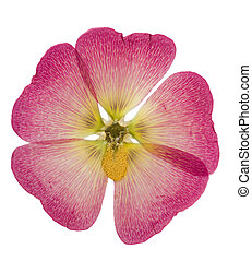 Pressed and dried pink flower mallow or malva, isolated